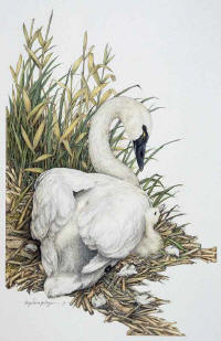 Lullaby -- Wildlife Art by Cary Savage Ingram